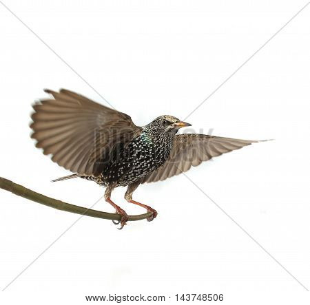 Starling with spread wings isolated on white. Studio