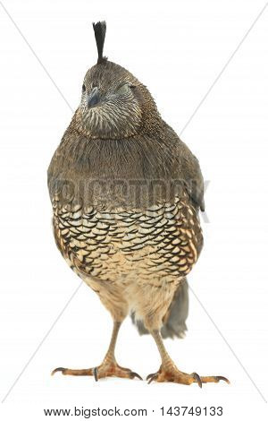 Female Californian Quail on a white background with the closed one eye