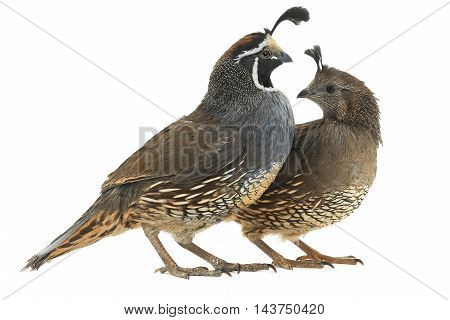 male and fеmale California Quail on a white background