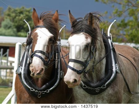 Pair Of Clydesdales