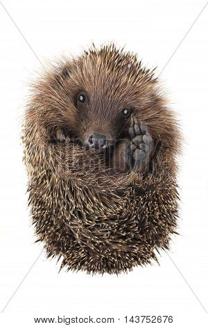 with raised paw hedgehog isolated on white background