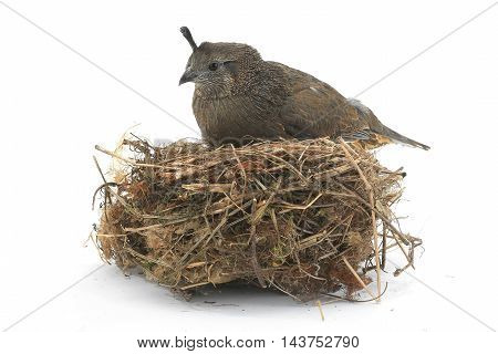nest female California Quail on a white background