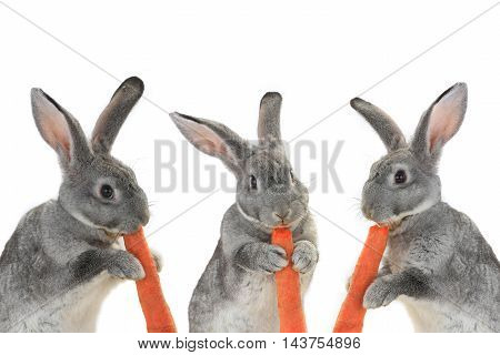 portrait rabbits with carrot isolated on white background