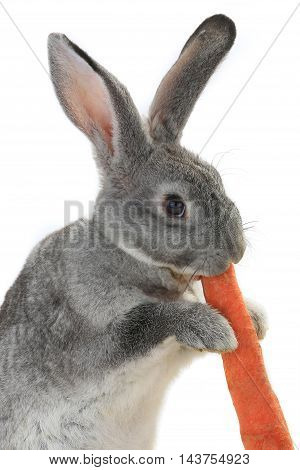 portrait rabbit with carrot isolated on white background
