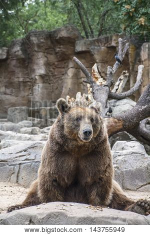The funny brown bear is sitting in the forest on his back