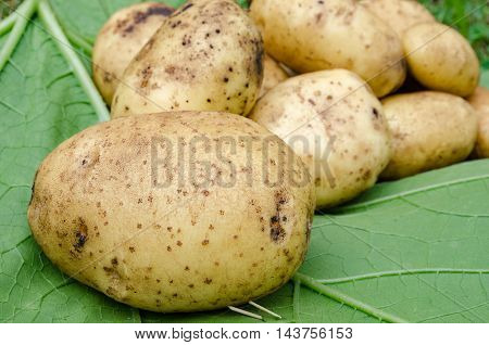 Potato crop large tubers for salad leaf closeup