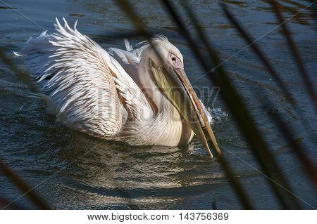 Pelican with open beak on the water