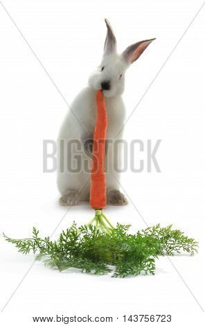 Rabbit with carrot isolated on white background