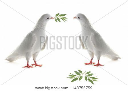 two white pigeon on a white background with an olive branch
