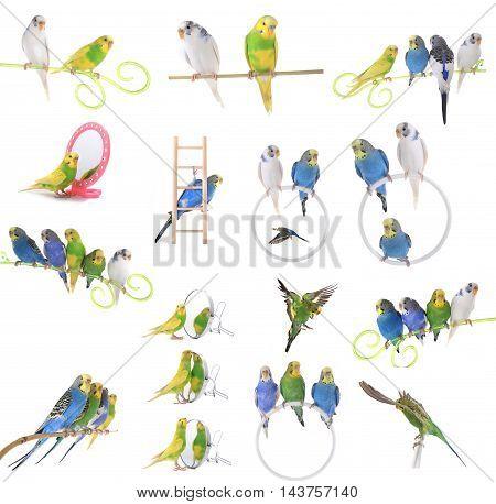 collage budgerigars, isolated on white, studio shot