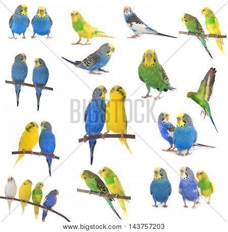the collage budgerigars isolated on white background