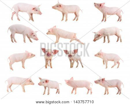 The a pigs on a white background. studio