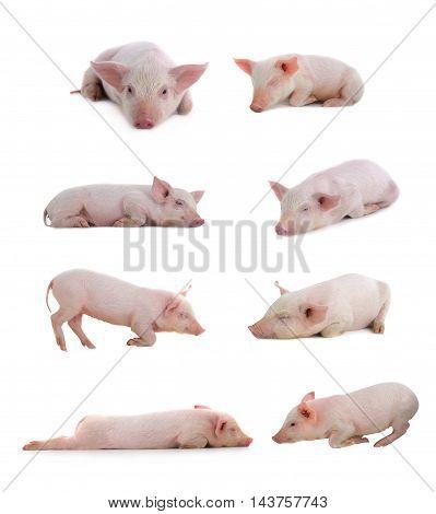 sleeping pigs on a white background. studio