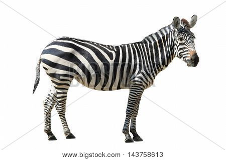 The a Zebra  striped on white background