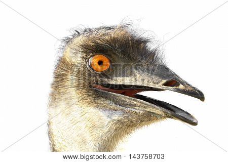 The a portrait emu isolated on white background.