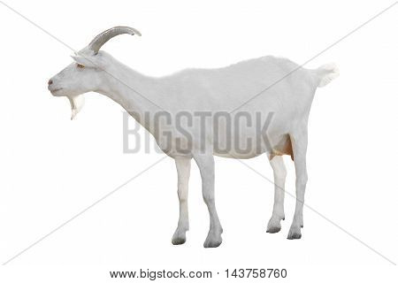 The a Goat isolated on a white background