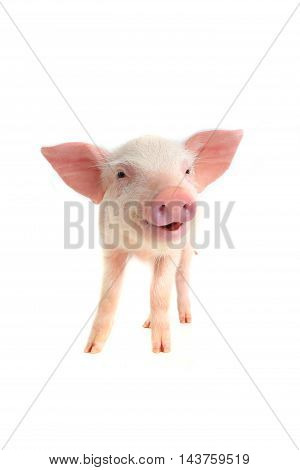 the a smile pig on a white background
