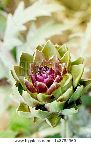 artichoke flower blooms with purple petals in a garden