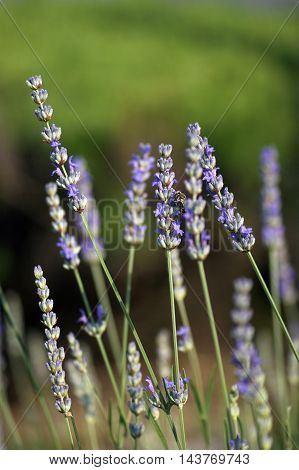 Blooming purple lavender on green blurred background