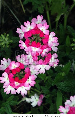 Flowers of verbena, painted in different shades of pink