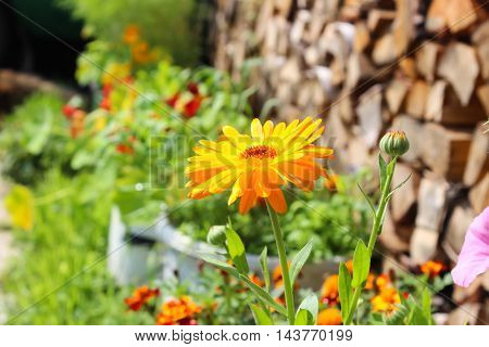 Calendula in the garden among the flowers