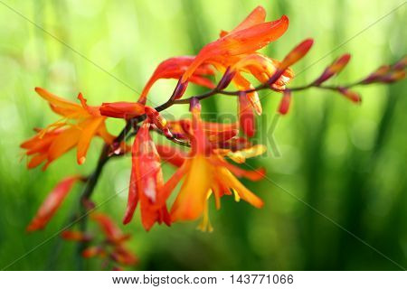 Crocosmia, Montbretia , orange flowers on a background of green grass. Suitable for posters, Wallpapers, pictures.