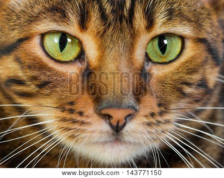 Portrait Of Cat Toyger, Closeup.