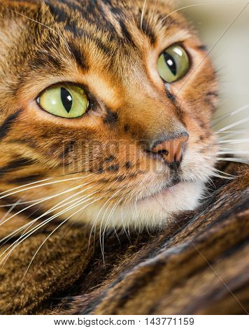 Portrait Of Cat Rare Breed Of Toyger