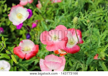 Garden with blooming red and pink poppies