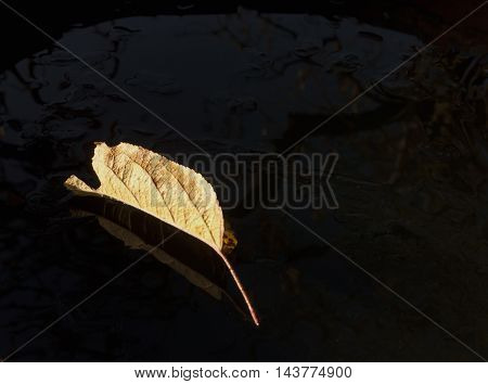 Fallen Dry Leave On Dark Surface With Reflection.