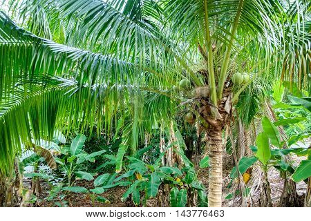 Coconuts on the palm tree. Dense thickets of tropical forests. Botanical photography.