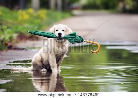adorable golden retriever puppy sitting in a puddle and holding umbrella