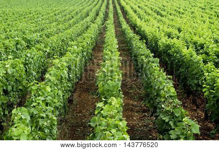 France, horizontal picture of vineyard in Burgundy