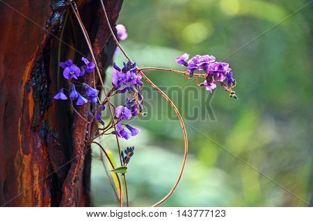 Purple flowers of the Australian Hardenbergia violacea vine (false sarsaparilla), Royal National Park, Sydney, Australia
