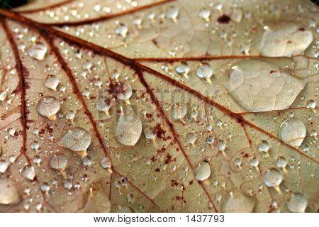 Cu Brown Leaf With Rain Drops