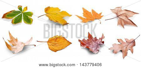 Collection of autumn leaves. isolated on white background