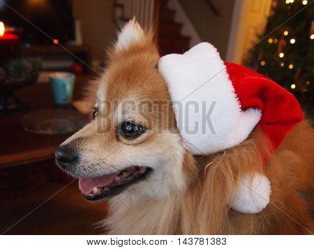 Pomeranian wearing a Santa hat on Christmas