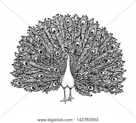Beautiful Handdrawn Peacock bird consist many details. Clip-art illustration.