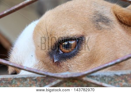 picture of a beagle dog in cage freedom concept