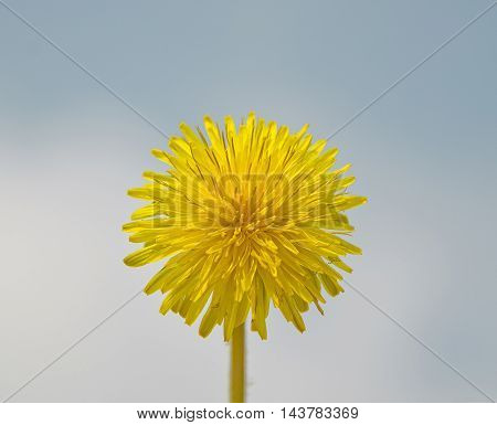 beautiful yellow dandelion on bright blue sky