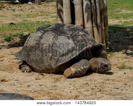 Galapagos Giant Tortoise , Close Up