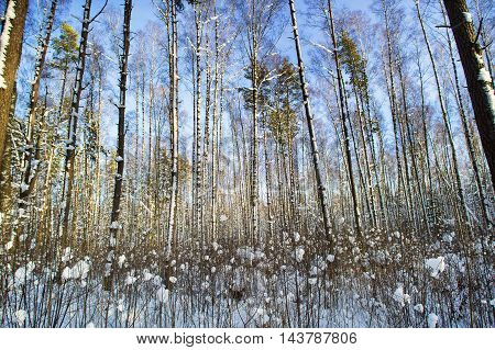 Trees in snow in the winter wood. Latvia. Europe.