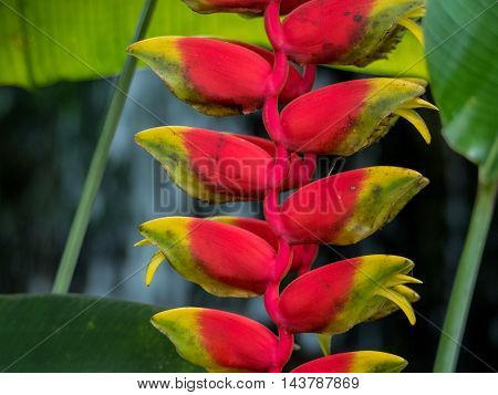 Lobster Claw Heliconia Rostrata