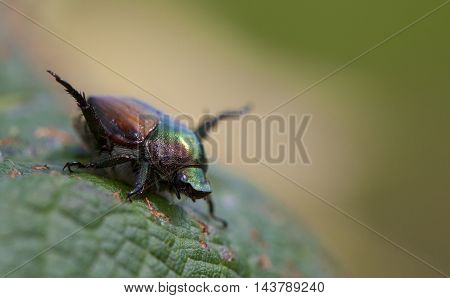 Big Japanese beetle that has been eating a grape leaf
