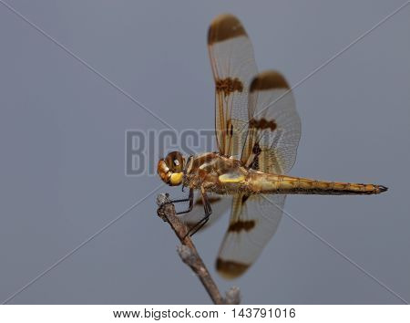 Large orange dragonfly sitting at the top of a stick