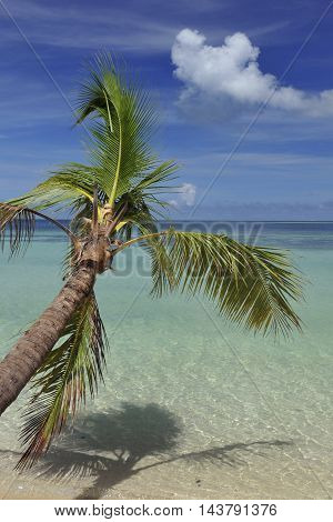 Palm tree on island in Fiji on a sunny day.