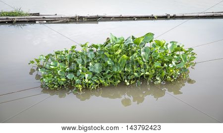 a medium group of water hyacinth floating on the river.