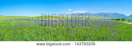 The purple meadow with flowers of Anchusa and snowy Gissar range of Pamir-Alay mountains on the distance Qashqadaryo Region Uzbekistan.