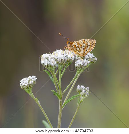 orange butterfly on white flowers with a blurred background