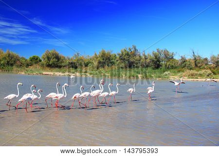 Flamingos in the water - Camargue, France
